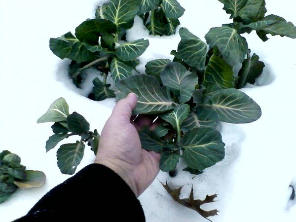 citizen farmer :: Kale and collards can survive the most extreme winters, as long as their root systems are protected by a heavy layer of mulch and their leaves by a cover of snow