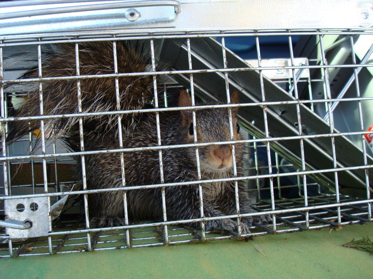 squirrel captured in a Havahart live trap