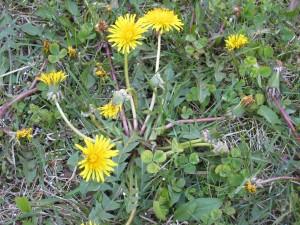 Lawn Weed Dandelion