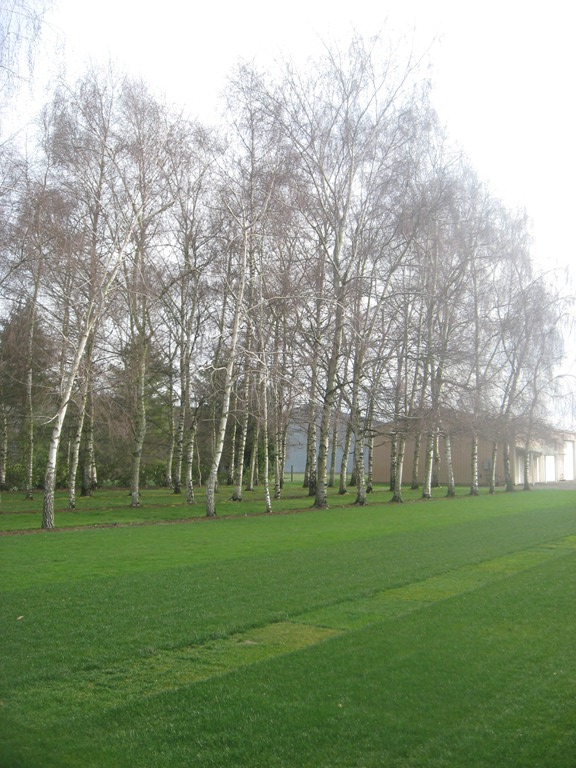 Grassy Lawn Row of Birch Trees @ NexGen