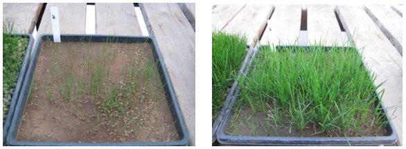 Day 14 & Day 28 Grass Seed Growing in a Tray