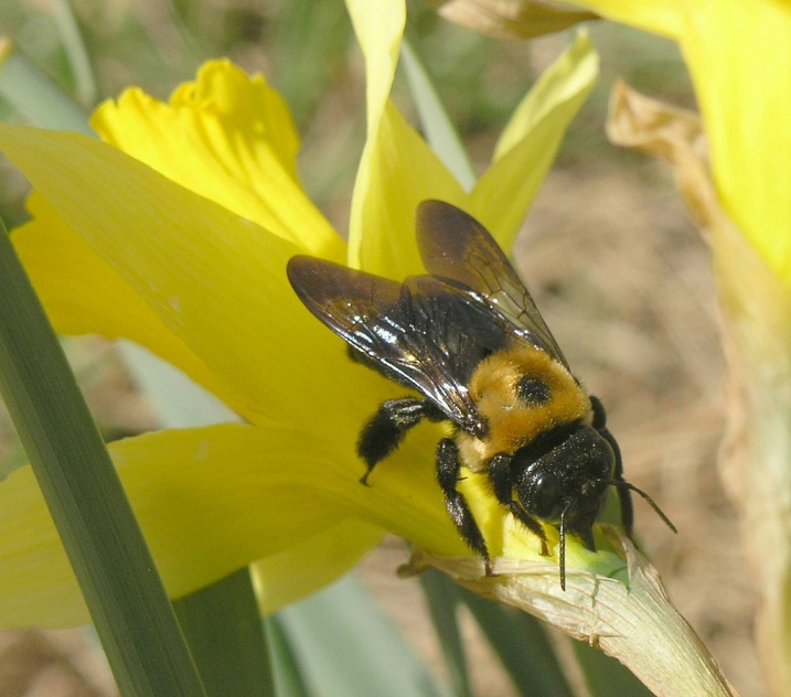 wood damaging pest Eastern Carpenter Bee