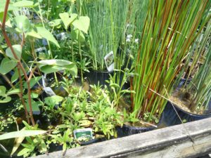 Miscellaneous Pond Plants